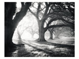 Oak Alley, Light and Shadows Print by William Guion