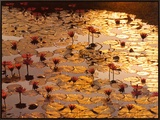 Lotus Pond Framed Canvas Print by Bruno Baumann