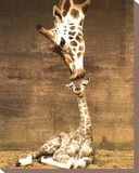 Giraffe, First Kiss Stretched Canvas Print by Ron D'Raine