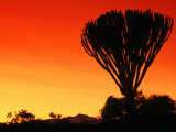 Giant Cactus Tree at Sunset, Lake Naivasha, Kenya Photographic Print by Anders Blomqvist