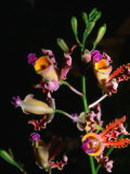 Detail of Orchid, Flowers Bay, Honduras Photographic Print by Michael Lawrence