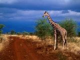 Reticulated Giraffe (Giraffa Camelopardalis Reiiculata), Meru National Park, Kenya Fotodruck von Ariadne Van Zandbergen