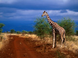 Reticulated Giraffe (Giraffa Camelopardalis Reiiculata), Meru National Park, Kenya Fotografiskt tryck av Ariadne Van Zandbergen