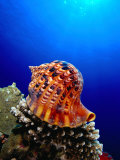 Triton Shell Perched on Thomas Reef, Tiran Island, Egypt Photographic Print by Mark Webster