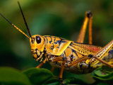 Grasshopper in Florida Everglades, Everglades National Park, Florida, USA Photographic Print by Greg Johnston