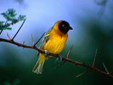 Village Weaver on Branch, Lake Baringo, Rift Valley, Kenya Photographic Print by Ariadne Van Zandbergen