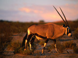 Gembsbok, or Oryx (Oryx Beisa), Kgalagadi Transfrontier Park, Northern Cape, South Africa Photographic Print by Ariadne Van Zandbergen