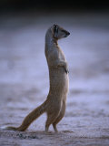 Yellow Mongoose, or Meerkat Standing on Its Hind Legs, Kgalagadi Transfrontier Park, South Africa Photographic Print by Ariadne Van Zandbergen