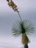 Yucca Plant, State Flower of New Mexico, White Sands National Monument, New Mexico, USA Photographic Print by Mark Newman