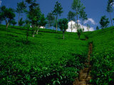 Green Tea Plantation, Nuwara Eliya, Sri Lanka Photographic Print by Dallas Stribley