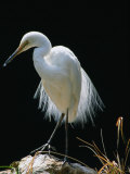 Grande aigrette arborant son plumage de reproduction, Adélaïde, Australie Photographie par Dennis Jones