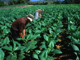 Tobacco Workers, Vinales, Pinar Del Rio, Cuba Photographic Print by Shannon Nace