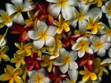 Frangipani Offerings at a Buddhist Temple in Tangalla, Tangalla, Southern, Sri Lanka Photographic Print by Dallas Stribley