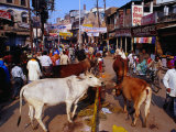 Human and Animal Traffic on Dasaswamedh Ghat Road, Varanasi, Uttar Pradesh, India Photographic Print by Richard I'Anson