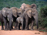 Elephant Family, Addo Elephant National Park, Eastern Cape, South Africa Photographic Print by Carol Polich