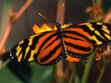 Danalid Butterfly, Costa Rica Photographic Print by Mark Newman