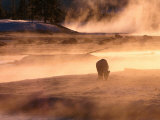 Winter Bison (Bison Bison), Yellowstone National Park, Wyoming, USA Photographic Print by Carol Polich