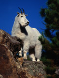 Mountain Goat on Rock Ledge,, USA Photographic Print by Carol Polich