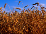 Crop of Hard Winter Red, Wheat for the Flour Mill in Lyons, South Carolina, USA Lmina fotogrfica por Oliver Strewe