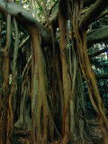 Aerial Roots of Banyon Tree, Lord Howe Island, New South Wales, Australia Photographic Print by Grant Dixon