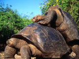 Galapagos Giant Tortoises Mating (Geochelone Elephantopus), Galapagos, Ecuador Photographic Print by Mark Newman
