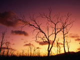 John Banagan - Dead Trees Silhouetted at Sunset, Airlie Beach, Queensland, Australia - Fotografik Baskı