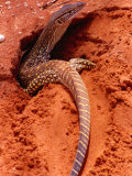 Sand Goanna (Veranus Gouldii), Sturt National Park, New South Wales, Australia Photographic Print by Mitch Reardon