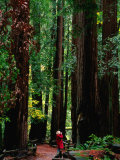 Forest of Redwood Trees, Muir Woods National Monument, California, USA Photographic Print by Stephen Saks