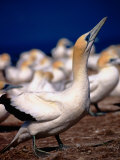 Australasian Gannets (Morus Serrator), New Zealand Photographie par David Wall
