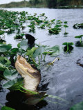 Alligator Being Fed, Everglades National Park, USA Photographic Print by Peter Ptschelinzew