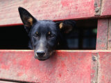 Cattle Dog in Back of Truck, Victoria, Australia Photographic Print by Phil Weymouth
