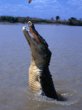 Crocodile (Crocodylidae Crocodilia) Jumping for Food on Adelaide River, Australia Photographic Print by Mitch Reardon