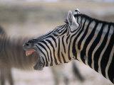 Burchell's Zebra Yawning, Etosha National Park, Etosha National Park,Kunene, Namibia Photographic Print by Carol Polich