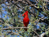 Red Cardinal in Arizona Photographic Print by Carol Polich
