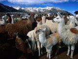 Llamas in a Corral in Umapallaca, Arequipa, Peru Fotografisk tryk af Grant Dixon