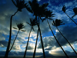 Coconut Trees at Sunset, Lahaina, USA Photographic Print by Holger Leue