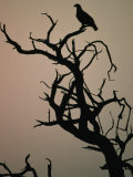 Silhouette of Eagle in Tree, Savuti, Botswana Photographic Print by Dennis Jones