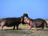 Two Male Hippopotamus (Hippopotamus Amphibius) Fighting Over Territory, Katavi NP, Rukwa, Tanzania Photographic Print by Ariadne Van Zandbergen