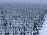 Snow Covered Vineyard in Monteforte Soave Classico, Florence, Italy Photographic Print by Oliver Strewe