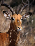 Impala Buck, Kruger National Park, Kruger National Park, Mpumalanga, South Africa Photographic Print by Carol Polich