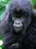 Mountain Gorilla (Gorilla Gorilla Beringei), Volcans National Park, Ruhengeri, Rwanda Photographic Print by Doug McKinlay
