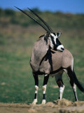 Gemsbok or South African Oryx, Kgalagadi Transfrontier Park, Northern Cape, South Africa Photographic Print by Carol Polich