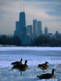 Four Canada Geese on Frozen Lagoon with North Loop Skyline in Background, Chicago, USA Photographic Print by Charles Cook