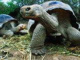 Giant Tortoises at Charles Darwin Research Station, Isla Santa Cruz, Galapagos, Ecuador, Giclee Print