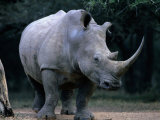 White Rhinoceros, Mkuzi Game Reserve, Mkuzi Game Reserve, Kwazulu-Natal, South Africa Photographic Print by Carol Polich