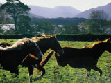Three Horses Cantering Through Field, Ireland Photographic Print by Oliver Strewe