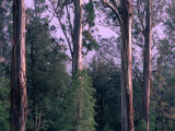 Mountain Ash and Rainforest Understorey in the Styx Valley, Tasmania, Australia Photographic Print by Grant Dixon