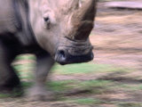 White Rhino (Ceratotherium Simum) at Western Plains Zoo, Dubbo, Australia Photographic Print by Dennis Jones