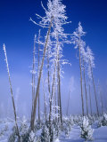 Hoarfrosted Trees, Yellowstone National Park, Wyoming, USA Photographic Print by Carol Polich