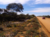 Native Flora by Outback Road at Mt. Magnet, Australia Photographic Print by Diana Mayfield